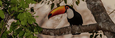 Close-up Of Tocu Toucan Ramphastos Toco Art Print