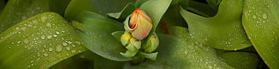 Close-up Of Tulip Bud On Plant Art Print by Panoramic Images