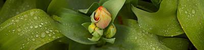 Close-up Of Tulip Bud On Plant Art Print