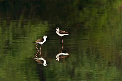 Close-up Of Two Black-winged Stilts Art Print by Panoramic Images