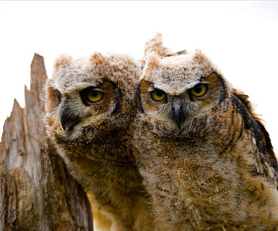 Owlets Photograph - Close-up Of Two Great Horned Owlets by Panoramic Images