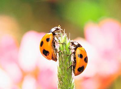 Close Up Of Two Ladybugs Art Print