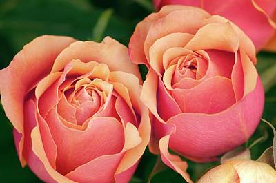 Close Up Of Two Roses (rosa Hybrid) Art Print