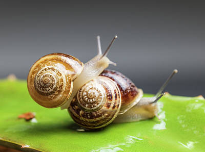 Close Up Of Two Snails Matting Art Print by Ozgur Donmaz