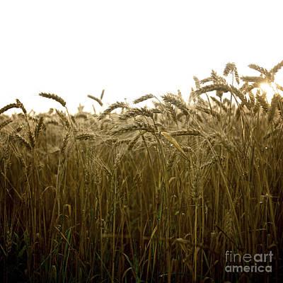 Cornfield Photograph - Close-up Of Wheat Ears. by Bernard Jaubert