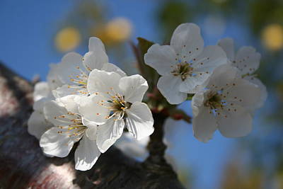 Photograph - Close Up Of White Cherry Blossom Flowers by Tracey Harrington-Simpson