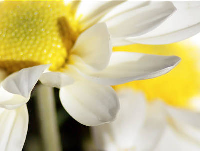 Photograph - Close Up Of White Daisy by Alex Grichenko