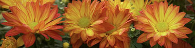 Photograph - Close-up Of Yellow Gerbera Daisy Flowers by Panoramic Images