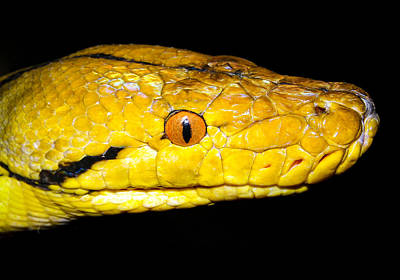 Photograph - Close Up Of Yellow Snake by Jean Noren