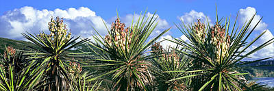 Close-up Of Yucca Plants In Bloom Art Print