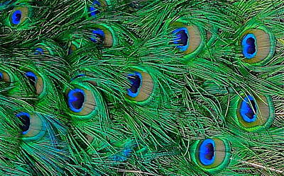 Photograph - Close Up On Peacock Feathers by Denise Mazzocco