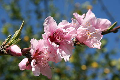 Close Up Peach Tree Blossom Against Blue Sky Art Print by Tracey Harrington-Simpson