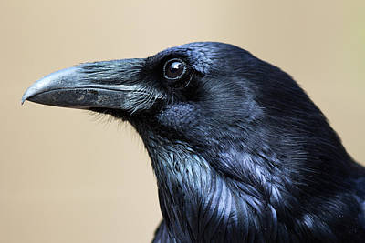 Close Up Portrait Of A Common Raven Art Print by Marc Moritsch