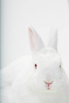 Captive Animal Photograph - Close Up Portrait Of A White Domestic by Rebecca Hale