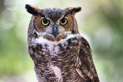 Close Up Portrait Of Great Horned Owl Art Print