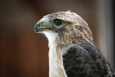 Accipitridae Photograph - Close-up Portrait Of Hawk With Beak by Sheila Haddad