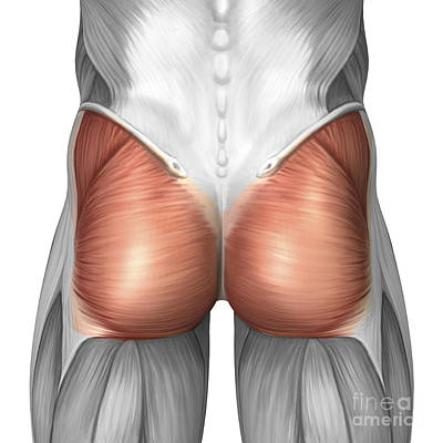 Tendon Digital Art - Close-up View Of Human Gluteal Muscles by Stocktrek Images