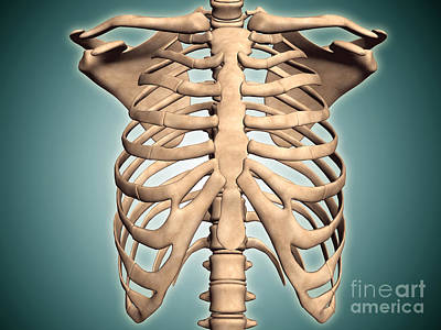 True Ribs Digital Art - Close-up View Of Human Rib Cage by Stocktrek Images