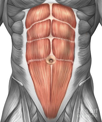Muscular Digital Art - Close-up View Of Male Abdominal Muscles by Stocktrek Images