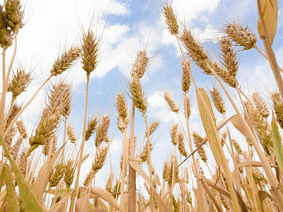 Photograph - Close Up Wheat Field by 4x-image
