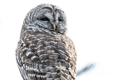 Photograph - Close Up With A Barred Owl by Cheryl Baxter