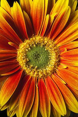 Gerbera Daisy Photograph - Close Up Yellow Orange Mum by Garry Gay