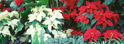 Close-us Of Red And White Poinsettias Art Print by Panoramic Images