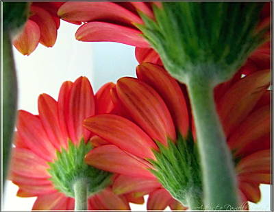 Close View From Under The Red Daisies Art Print by Danielle  Parent