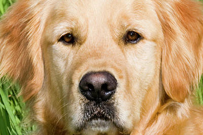 Close View Of Head Golden Retriever Art Print
