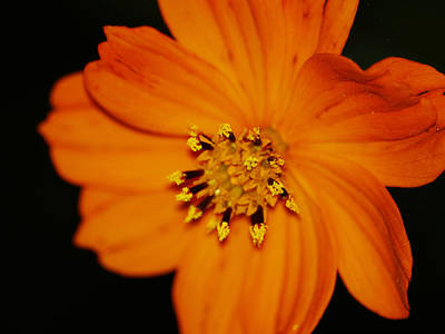 Photograph - Closeup Cosmos by Monica Veraguth