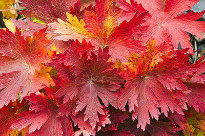 Closeup Detail Of Autumn Foliage Kodiak Art Print