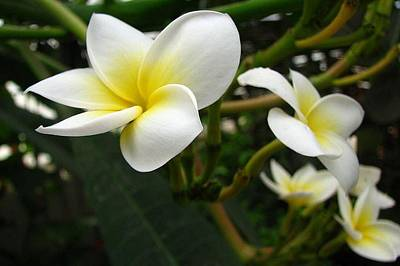 Photograph - Closeup Frangipani With Natural Garden Background by Tracey Harrington-Simpson