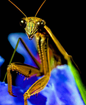 Canibal Photograph - Closeup Macro Of The Praying Mantis by Leslie Crotty