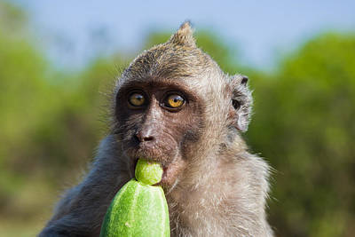 Photograph - Closeup Monkey Eating Cucumber by Nila Newsom