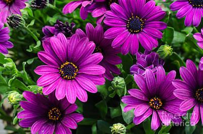 Photograph - Closeup Of A Bouquet Purple Dasies by Kennerth and Birgitta Kullman