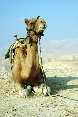 Camel Photograph - Closeup Of A Camel by Photostock-israel