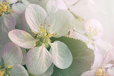 Photograph - Closeup Of Apple Blossom Flowers With Filtered Light by Sandra Cunningham