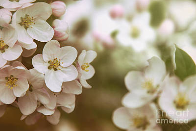 Photograph - Closeup Of Apple Blossom Flowers With Vintage Color Filters by Sandra Cunningham