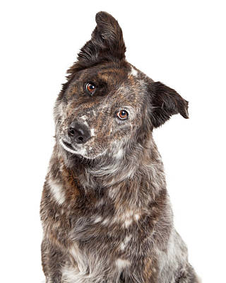 Australian Shepherd Photograph - Closeup Of Australian Shepherd Mix Breed Dog by Susan Schmitz
