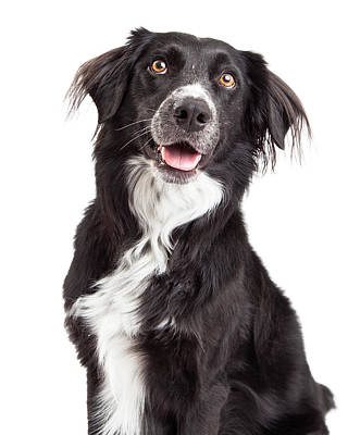Closeup Of Border Collie Mix Breed Dog Art Print