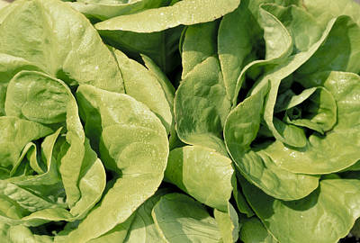Closeup Of Boston Lettuce Art Print by Anonymous