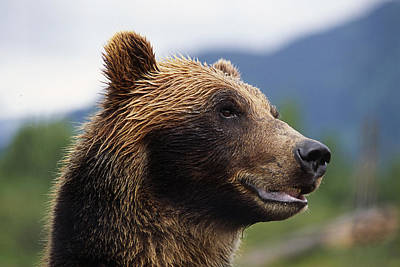 Bear Photograph - Closeup Of Brown Bears Head And Face by Doug Lindstrand