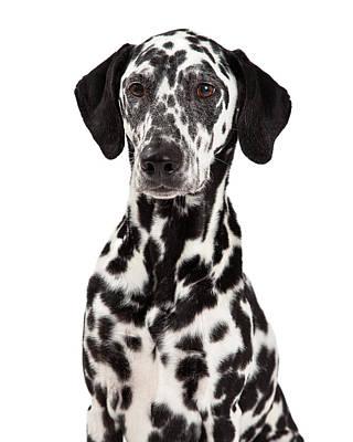 Dalmatian Photograph - Closeup Of Dalmatian Dog by Susan Schmitz