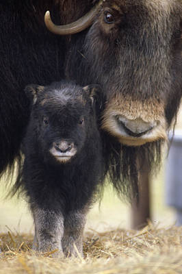 Caring Mother Photograph - Closeup Of Muskox Cow Wcalf Captive by Doug Lindstrand