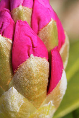 Closeup Of Rhododendron Flower Bud Print by Marion Owen