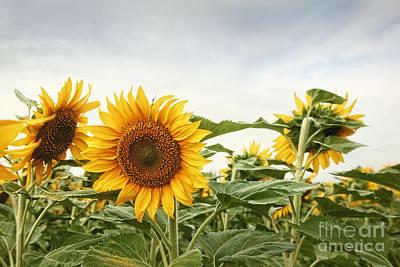 Photograph - Closeup Of Sunflower Field by Sandra Cunningham