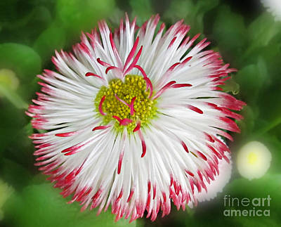 Closeup Of White And Pink Habenera English Daisy Flower Art Print by Valerie Garner