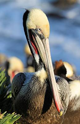 Photograph - Closeup Pelican by Jane Girardot