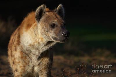 Photograph - Closeup Portrait Of A Hyena by Nick  Biemans