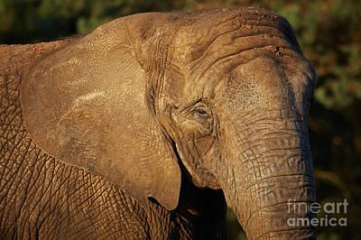 Photograph - Closeup Portrait Of An African Elephant by Nick  Biemans